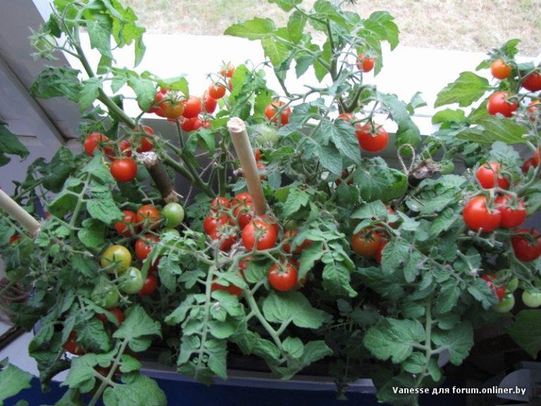 Выращивание помидор на окне