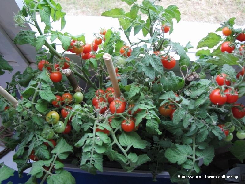 Выращиваем помидоры на подоконнике.