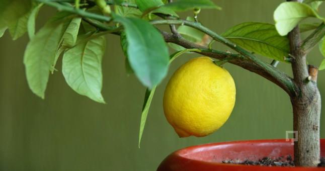 limon130516010