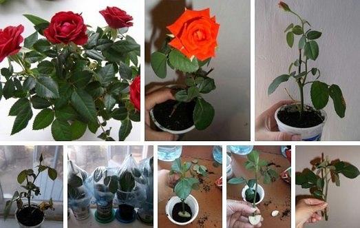 Укореняем розу в домашних условиях 186