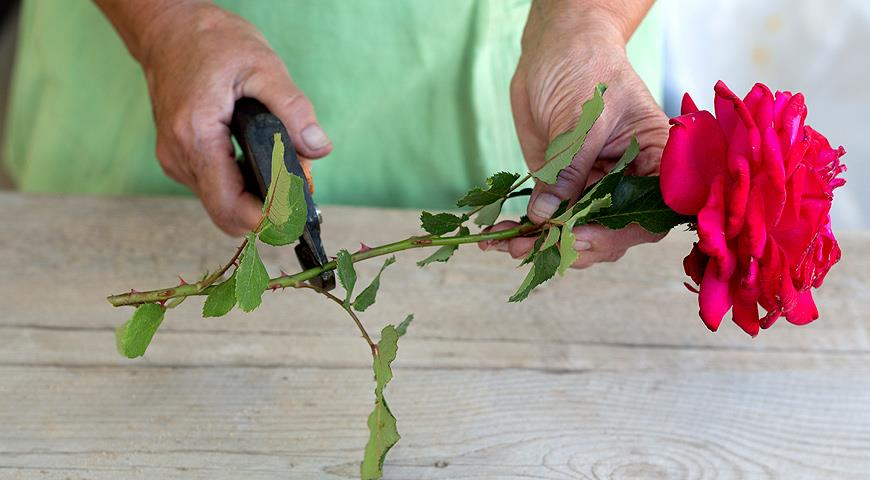 Как вырастить розу из подаренного цветка