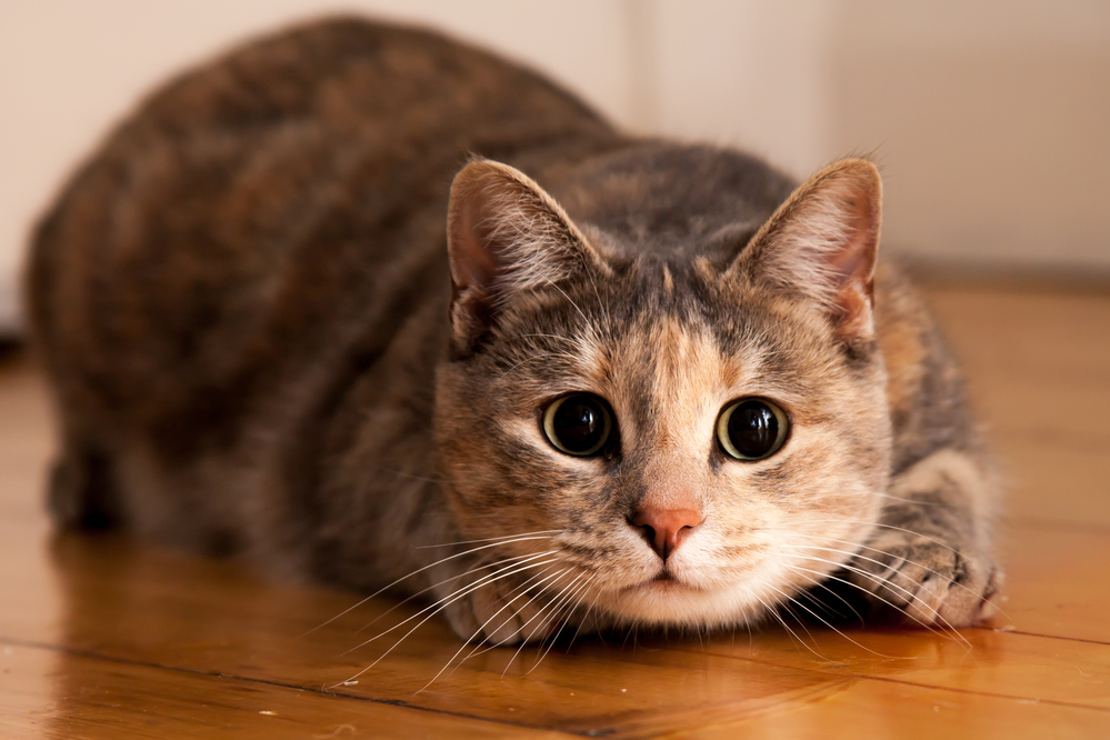 Tortoiseshell-tabby cat prepares to jump onto something she is stalking